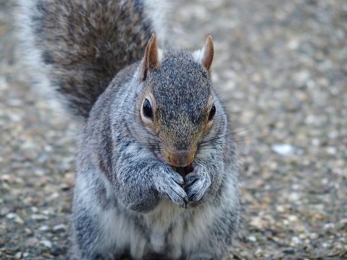 Portrait Of Squirrel On Field