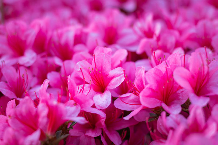 Close-up of a carpet of pink Rhododendron indicum (azalea) flowers in full bloom Flower Flowering Plant Freshness Pink Color Beauty In Nature Fragility Vulnerability  Plant Petal Close-up Flower Head Inflorescence Growth Selective Focus Full Frame Nature Day No People Backgrounds Outdoors Bunch Of Flowers Rhododendron Azalea Indicum Carpet