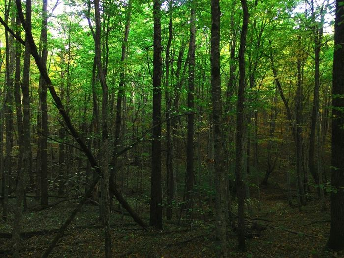 Forest Tree Nature WoodLand Beauty In Nature Non-urban Scene Tree Area Green Color