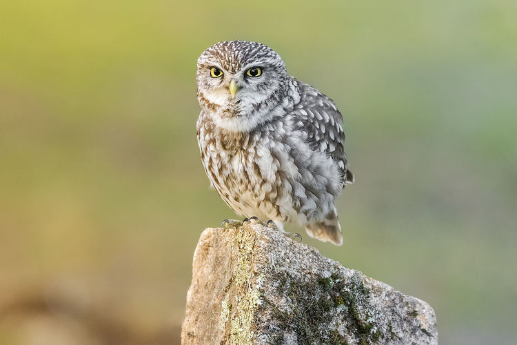 Athene Noctua EyeEm Best Shots Eyens Nightphotography Nocturnalculture Wildlife & Nature Little Owl Nature_collection