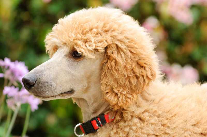 Standard Poodle puppy dog Dog Poodle Standard Standard Poodle Domestic One Animal Pets Animal Canine Looking Away Portrait Day No People Close-up Animal Body Part Animal Head  Puppy Standard Poodle Apricot Domestic Animals Animal Themes