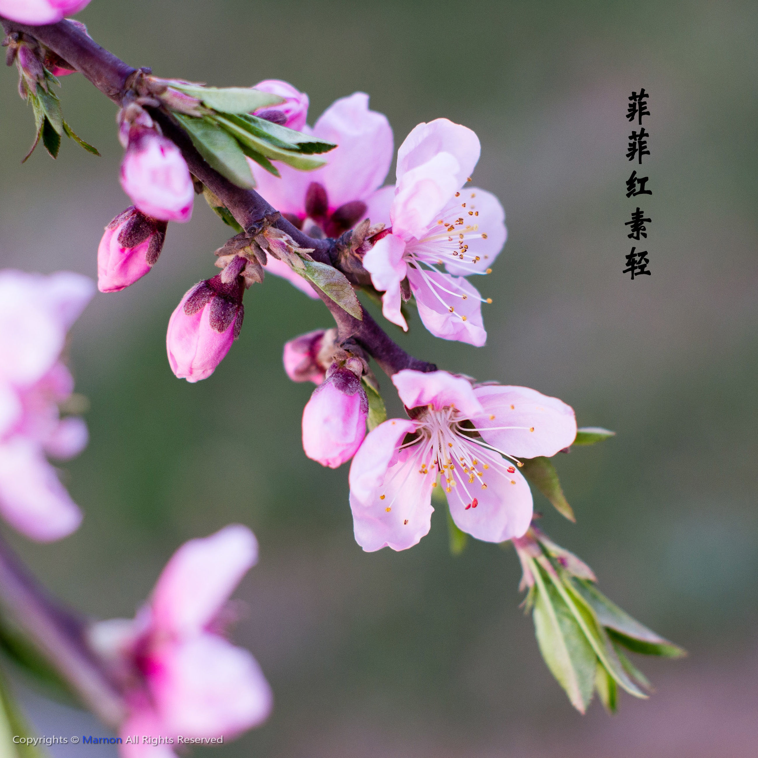flower, freshness, fragility, growth, petal, focus on foreground, beauty in nature, close-up, pink color, nature, flower head, bud, blooming, stem, in bloom, blossom, plant, twig, branch, springtime