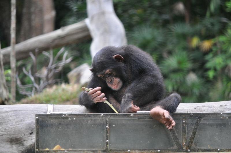 Young chimpanzee sitting at zoo