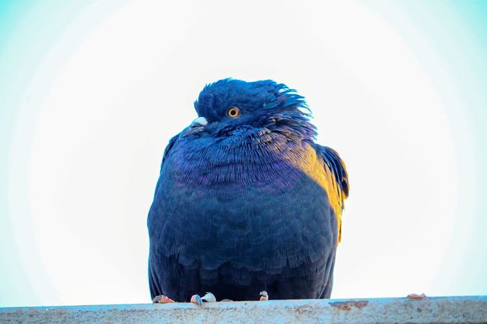 Pigeon Pigeon Capture Moment Composition Bird Perching Blue Full Length Close-up Sky