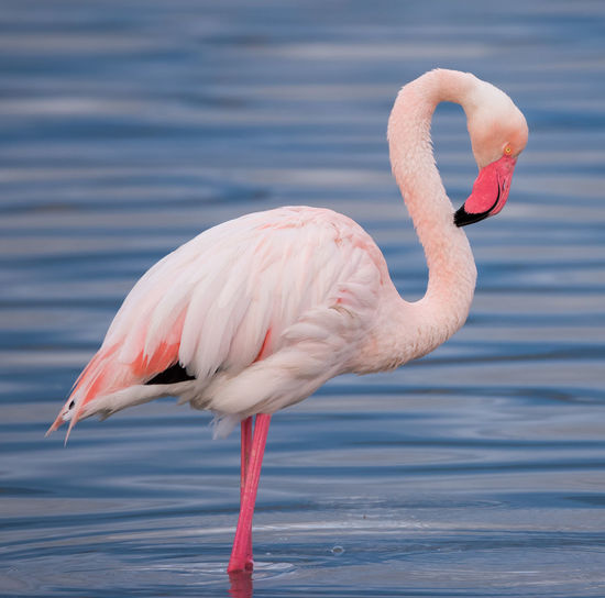 Animal Animal Themes Vertebrate Freshwater Bird Outdoors Sea Close-up Animal Body Part No People Nature Water Flamingo Pink Color Animals In The Wild Day Bird Animal Wildlife One Animal Focus On Foreground Animal Neck Beak Animal Head  Flamingo Flamingos Flamingos In Water Flamingo Beauty