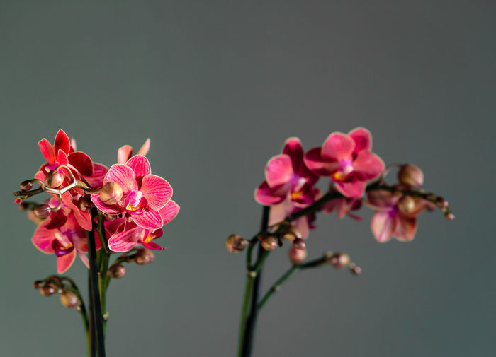 Close-up of pink orchids against gray background