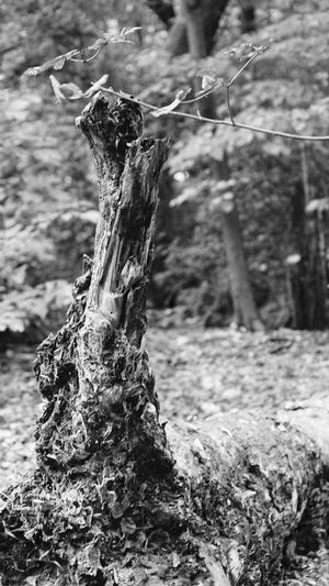 Nature Tree Trunk Focus On Foreground Tree Textured  No People Tree Stump Day Outdoors Close-up Bark Dead Tree Black And White Black & White Outdoor Photography Outdoorshot Weathered