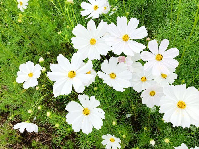 白いコスモス 綺麗でしょう。 First Eyeem Photo