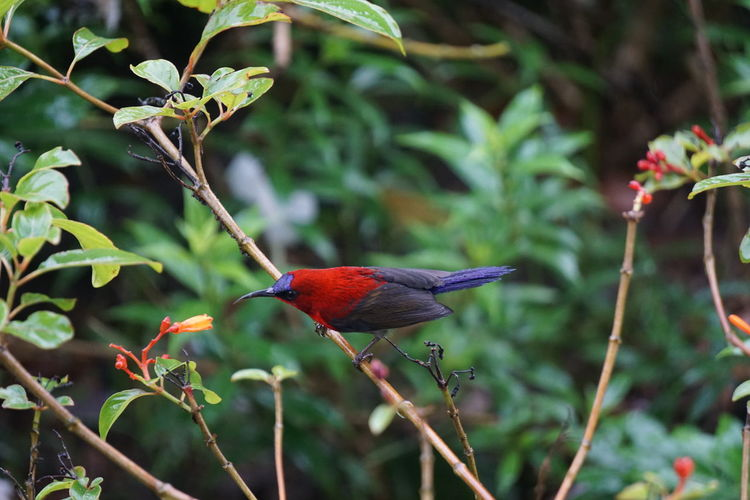 Bird Animals In The Wild Animal Wildlife Vertebrate Animal Themes Animal One Animal Plant Perching Focus On Foreground No People Beauty In Nature Day Growth Close-up Branch Nature Tree Red Green Color