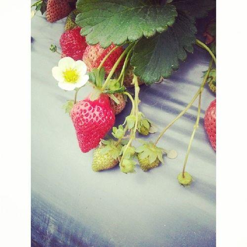 大湖草莓 草莓味好香 ♥