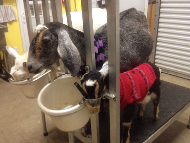 Lovable Cute Babygoat Lovable Pets! Goatfarm Animal Goat Cute Pets Animal_collection Animal Photography Serenitygoats Goat Life Serenityacres Farmersonly Good Morning Lovable Pets Milk Dairy Smile