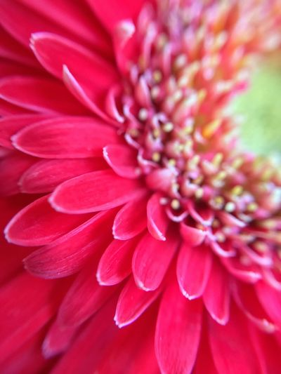 Flower Petal Fragility Beauty In Nature Nature Flower Head Freshness Growth Close-up Blooming No People Outdoors Day Dahlia