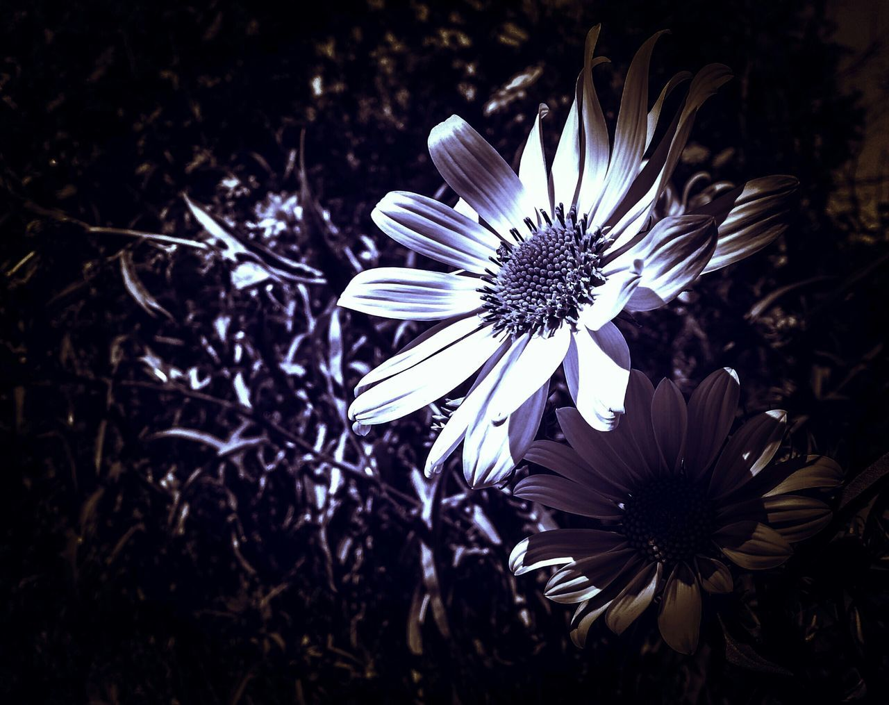 flower, fragility, petal, flower head, growth, nature, beauty in nature, freshness, plant, blooming, day, no people, close-up, outdoors, osteospermum, passion flower