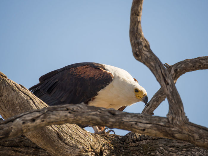 Low Angle View Of African Fish Eagle Perching On Tree Against Clear Sky