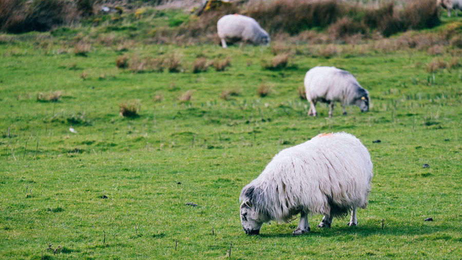 Sheeps!! Animal Photography Animal Themes Animal_collection Animals, Domestic Animals Field Grass Grassy Grazing Green Color Ireland,Offaly,farming,cows, Farmer Livestock Mammal Nature Ring Of Kerry Rural Rural Scene Sheep Sheeps Showcase April