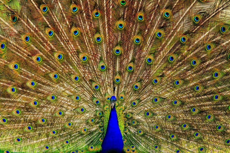 Gorgeous peacock, doing his best to attract the ladies. Herriman, Utah. Peacock Peacock Feather Fanned Out One Animal Bird Feather  Animal Themes Animal Wildlife Green Color Multi Colored Full Frame Day Nature Beauty In Nature Blue Animals In The Wild Outdoors Close-up No People The Great Outdoors - 2018 EyeEm Awards