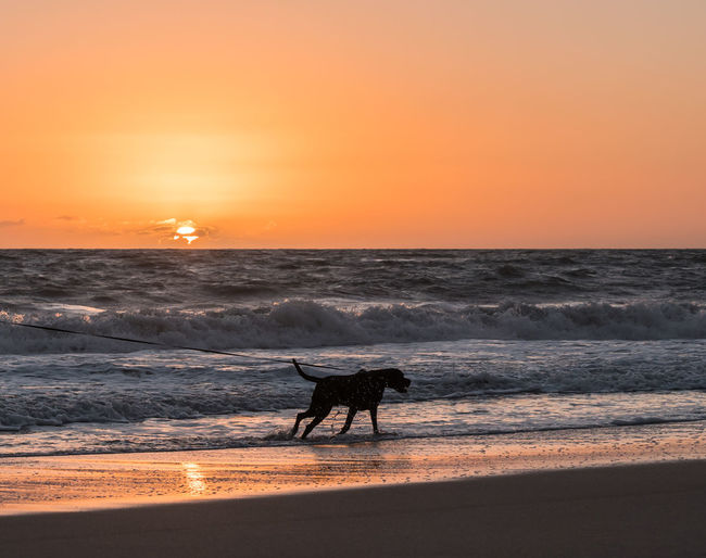 A black labrador mix pulling hard on a leash on the shore of a beach in Florida. Pulling Animal Themes Beach Beauty In Nature Domestic Domestic Animals Horizon Horizon Over Water Land Leash Lunging Mammal Nature One Animal Orange Color Outdoors Pets Scenics - Nature Sea Sky Sun Sunset Water Wave