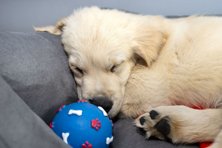 High angle view of puppy sleeping