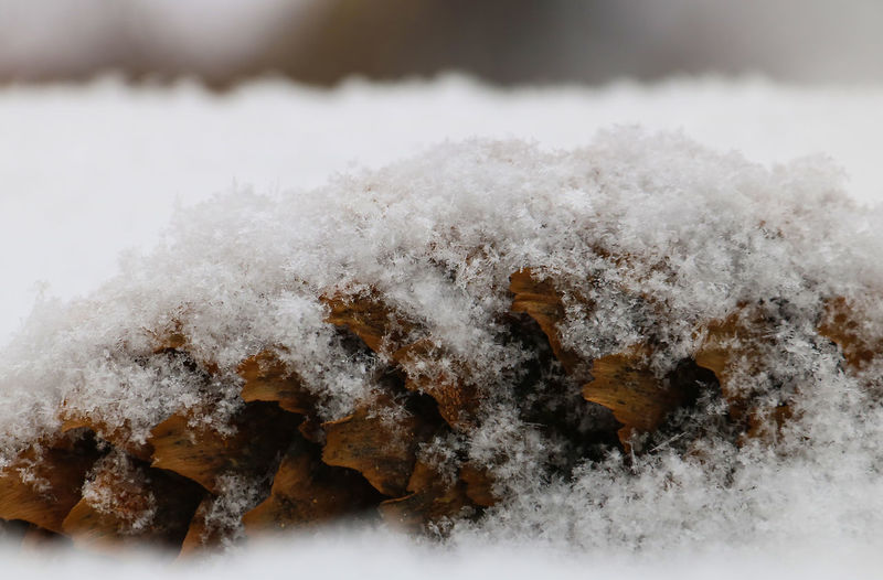 Beauty In Nature Close-up Cold Temperature Cone Day Fir Cone Fir-cone Fluffy Frozen Ice Nature No People Outdoors Snow Snowflakes Winter