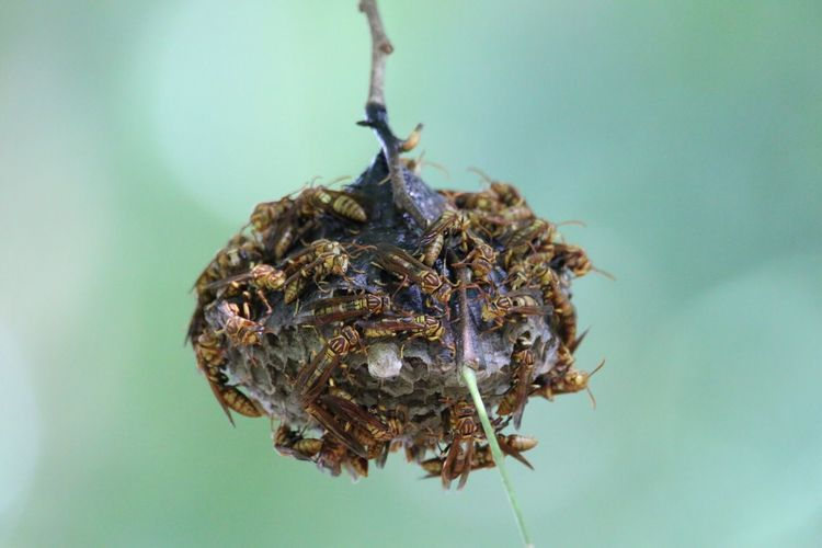 Close-up of hornets on nest