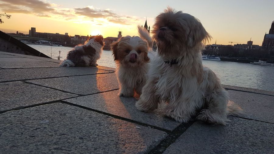 View of a dog in city at sunset