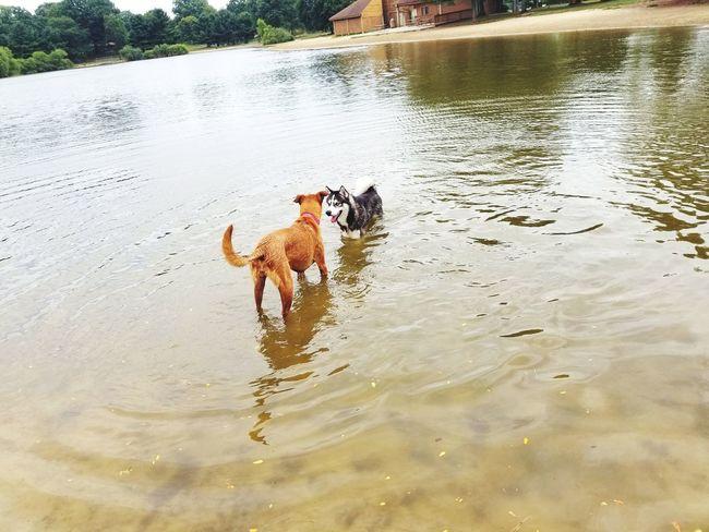 Husky dog Dog Pets Domestic Animals One Animal Animal Themes Water Mammal Lake Day Outdoors No People Nature