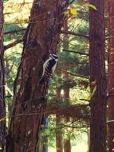 Woodpec Woodpeckerphoto Woodpecker Making A Hole Woodpecker Bird Woodpecker In Tree Woodpecker