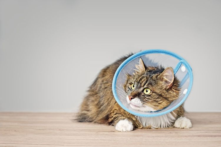Sick maine coon cat with a pet cone looking anxiously sideways. Hospital Longhaired Cats Sideways Glance Looking Away Mammal Horizontal Elizabethan Collar Veterinarian Veterinary Vertebrate Pentax Anxious  Sickness Cone Of Shame Cat♡ Cats Of EyeEm Close-up Domestic Hair Whisker Resting One Animal Animal Feline Domestic Cat Pets Animal Themes Domestic Animals Indoors  Copy Space No People Animal Eye Animal Head  Looking Cat Indoors  Focus On Foreground Tabby Cat Green Eyed Cat Wood - Material
