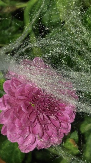 Flower Fragility Beauty In Nature Water Nature No People Drop Purple Petal Outdoors Growth Close-up Plant Freshness Flower Head Spiderweb Fall Beauty Raindrops EyeEm Nature Lover