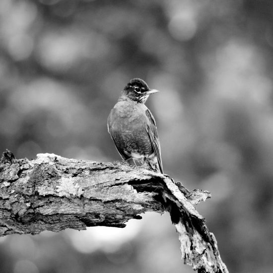 One Animal Bird Animals In The Wild Perching Animal Wildlife Animal Themes Focus On Foreground Day Nature Tree No People Outdoors Branch Full Length Close-up Beauty In Nature American Robin Animals In The Wild Beauty In Nature Nature Bnw_lover Monochrome Photography Black&white Young Bird Front Or Back Yard