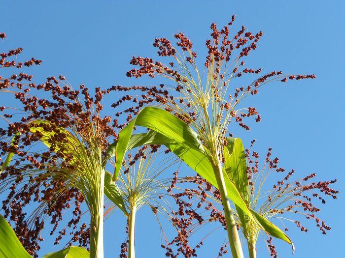 Hirse Clear Sky Blue Leaf Summer Flower Sky Close-up Plant Green Color