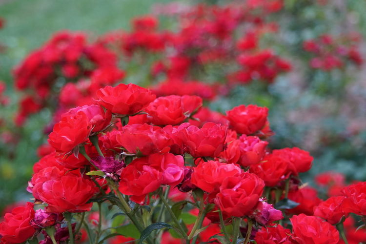 Red Ruby Meidiland roses Perennial Fragrant Red Ruby Meidiland Roses Red Garden Gardening EyeEm Selects Flower Head Flower Red Springtime Petal Close-up Plant Flowering Plant In Bloom Plant Life Botany Botanical Garden Blooming