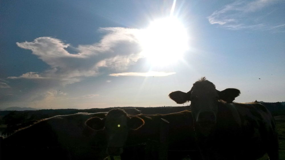 Animal Themes August Beauty In Nature Cows Day Domestic Animals Evening Atmosphere Evening Light Lens Flare Mammal Nature No People Outdoors Sky Sun Sunbeam Sunlight Sunlight