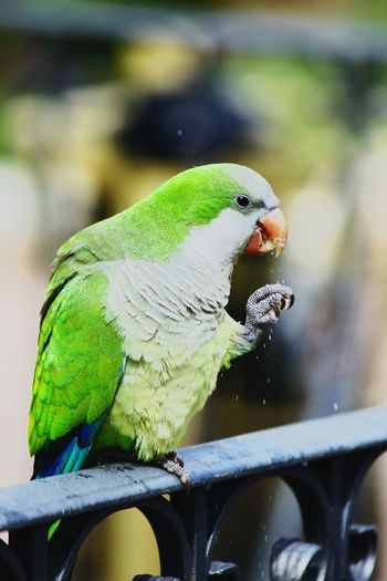 Close-up of parrot perching on metal railing