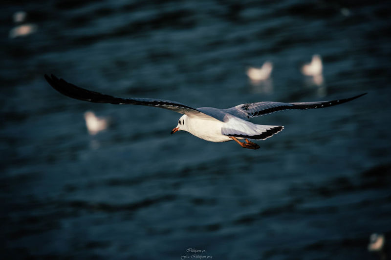 Animal Wildlife Animal Themes Flying Animals In The Wild Animal Spread Wings Bird Vertebrate One Animal Water Nature Mid-air No People Sea Waterfront Day Focus On Foreground Motion Outdoors Seagull Eagle