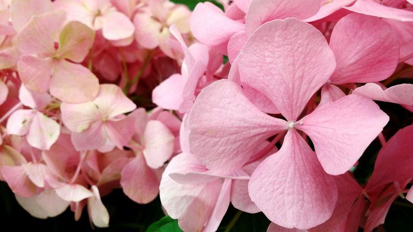 Pink Flower 🌸 Pink Flower Pinkflower Pinksky Pinkflowers Pink Flowers Pink Color Flower Nature Petal Flower Head Beauty In Nature Eye4photography  EyeEm Best Edits EyeEm Gallery EyeEmBestPics Pink Flowers In Bloom Purple Flower Freshness Beauty In Nature Nature By _photoinn😉