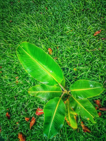 Banana Tree Sapling Sapling Tree Tree Photography Tree_collection  Beauty Of Nature Green Color Leaf Grass