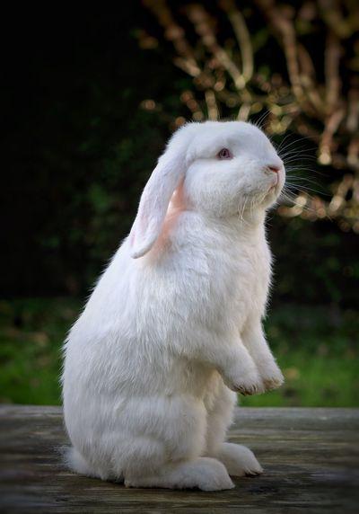 Hangoor konijn first eyeem photo Animal Portrait Wite Animal Animal Themes Rabbit Rabbits 🐇 Animal Love