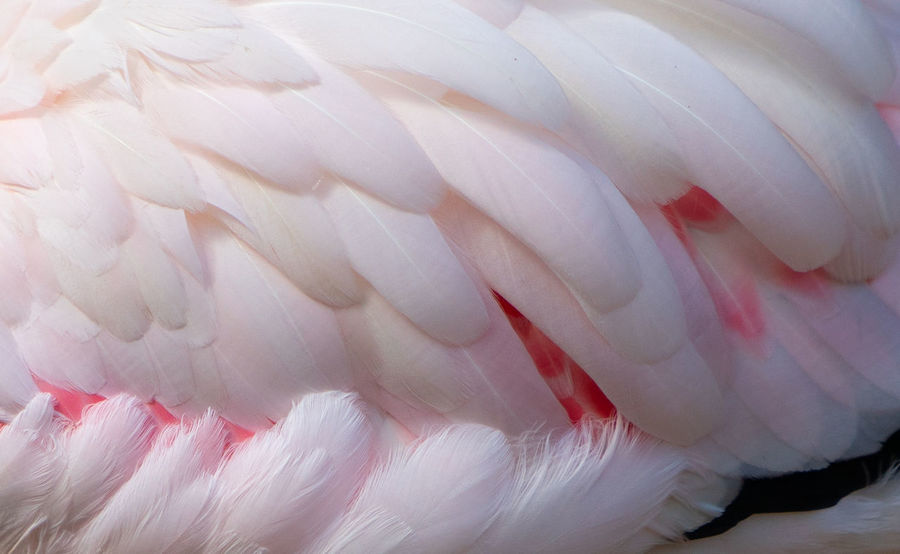 Colorful feathers texture Feathers Texture Animal Animal Neck Animal Themes Animal Wildlife Animals In The Wild Beauty In Nature Bird Close-up Day Feather  Flamingo Focus On Foreground Full Frame Nature No People One Animal Outdoors Pink Color Preening Vertebrate White Color