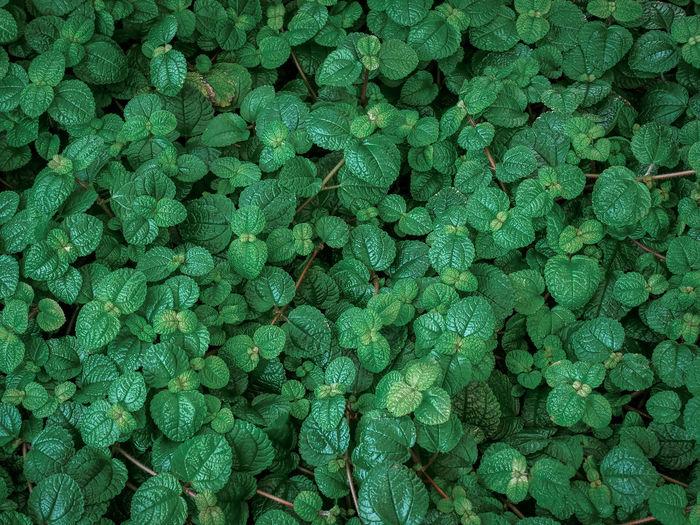 Full frame background of fresh green mint plants