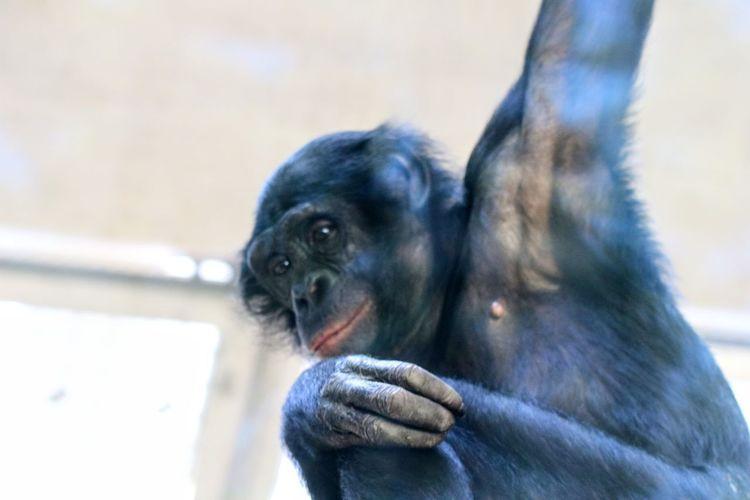 Bonobo Primate Bonobo Schimpanse Urwald Zoo Schwarz Pets Portrait Dog Puppy Young Animal Looking At Camera Cute Close-up