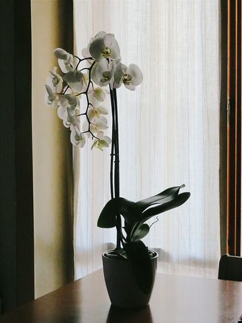 Vase Indoors  Flower Plant Home Interior No People Table Orchid Curtain Minimal Tranquility Still Life Onthetable Plant The Week On Eyem EyeEmBestPics EyeEm Best Shots EyeEm Gallery Eye4photography