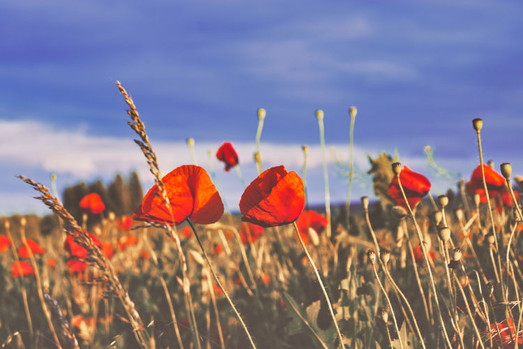Beauty In Nature Vulnerability  Growth Land Red Blue Freshness Field Sky Nature Poppy Agriculture Flower Head Landscape Fragility Springtime Environment No People Nature_collection Germany Flower Poppy Cereal Plant Flower Head Red Rural Scene Field Sunset Summer Sky Plant Life Flowering Plant