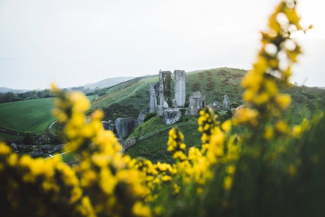 Colorful Corfe Castle Britain England Plant Yellow Beauty In Nature Growth Flower Sky Nature Tranquility Landscape Tranquil Scene Flowering Plant Field Land No People Scenics - Nature Environment Day Agriculture Outdoors Rural Scene