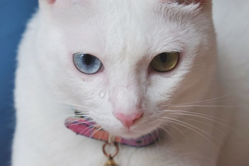 Crying cat Eyes Blue And Yellow Eyes Two Tones Eyes White Cat Thai Cat Unique Cat Cute Cat Animals Pet Beautiful Beauty Beauty Eyes EyeEm Cat Queen Of Cat Cat Of The World Close-up Eyeem Thai Cat Thailand