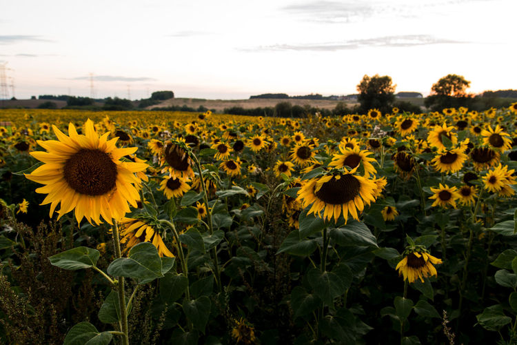 EyeEm Nature Lover Nature Photography Poland Field Flower Nature Nature_collection No People Sunflowers🌻 Sunset Yellow