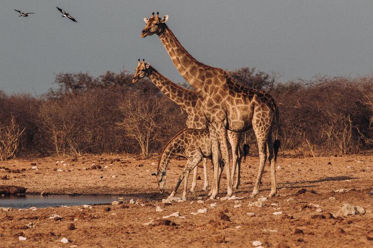 Giraffe standing at lakeshore