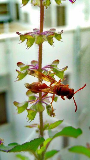 Bee Tulsi Plant Tulsi Flower Daylight OPPO F1f F/2.2 1/9 Sec ISO 100 1/143 Sec Nature Photography bee