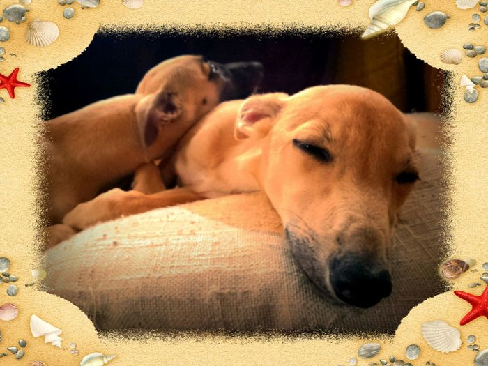 Whippet Puppies New Edition to the Family