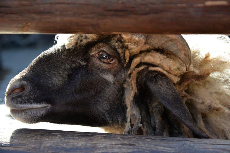Sheep - zoo . Fuerteventura. Sheep🐑 Animal Zoo Animals  Zoo Day Zoophotography Holidays Farmanimals